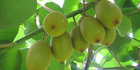 Zespri's SunGold kiwifruit, which helped the industry recover from the Psa crisis, has been acknowledged with two major innovation awards. Photo: File
