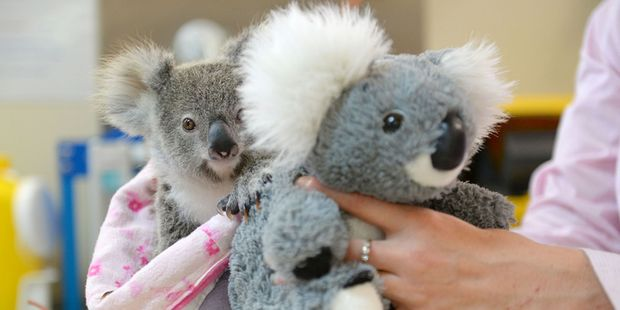A nine-month-old orphaned baby koala who has found solace cuddling a fluffy toy koala in the absence of his dead mum. Photo / Ben Beaden/Australia Zoo