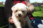 George, the maltese terrier, is a regular visitor to Yatton Park with his owner Alan Pittman. PHOTO/STUART WHITAKER