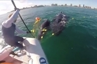Sea World Staff and Queensland Boating and Fisheries Patrol free two whales from a shark net at Coolangatta on the Gold Coast