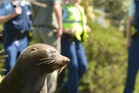 This fur seal has been a frequent visitor to Dunedin over the last week. Photo/Craig Baxter/ODT