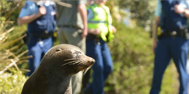 Loading This fur seal has been a frequent visitor to Dunedin over the last week. Photo/Craig Baxter/ODT