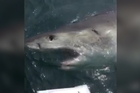Courtesy of Salty Dog Charters.   An Aussie fisherman says a dust up with a great white shark last week is a story he will tell his grandchildren.