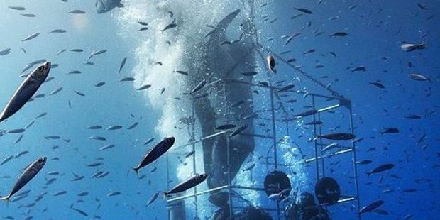 The moment the great white shark became trapped. Photo / via YouTube