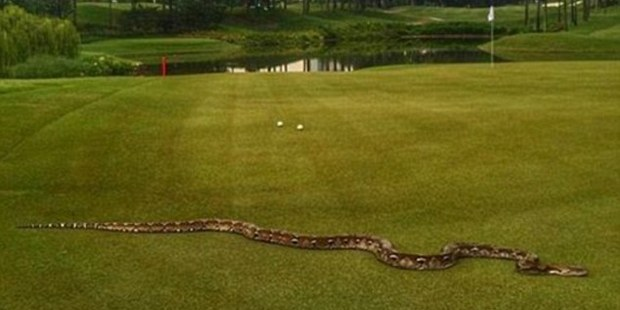 The six-foot long python that needed to be removed from the green at a recent PGA Tour event in Malaysia. Photo / Instagram