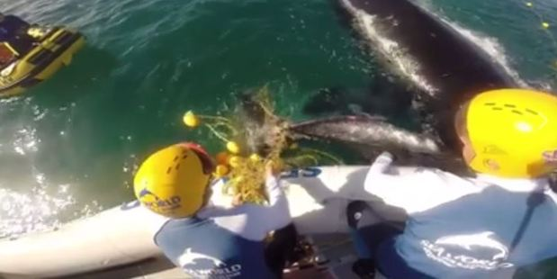 Loading Rescuers from Sea World and Queensland Boating and Fisheries Patrol worked to cut the animals free as they struggled near Coolangatta Beach.