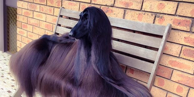 Is this the world's prettiest dog? Photo / Facebook Luke Kavanagh