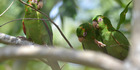 Cuban parakeets. Today, parrots, or psittacines, make up almost 400 species that inhabit tropical and sub-tropical regions around the world.