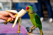 A woman believed her parrot had learned saucy words because her husband was having an affair. Photo / Getty Images