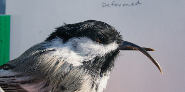 This 2003 photo provided by the USGS Alaska Science Center shows a black-capped chickadee with a deformed beak in Anchorage, Alaska. Photo / AP