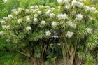 Cabbage trees are flowering, but does it mean Northland will have a wet summer or a drought?