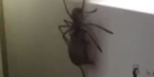 Watch: Terrifying huntsman spider footage goes viral