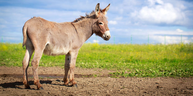 Loading In 2014 John Rees-Evans was recorded saying a donkey tried to rape his horse. Photo / 123rf