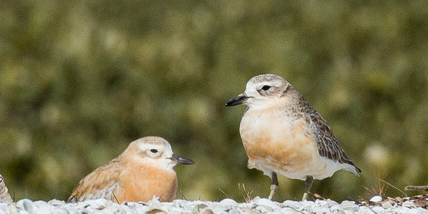 Auckland Council biodiversity ranger Ben Paris, aka NZ Batman, is backing the NZ dotterel in Forest and Bird's 2016 Bird of the Year competition. Photo: Philip Moll