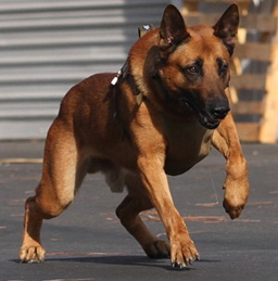 K9 Edo from the LA Police Department.