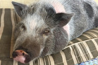 Nigel, a teacup pig with a big appetite, got even hungrier after eating peanut butter cookies that contained marijuana. Photo / The Washington Post, supplied
