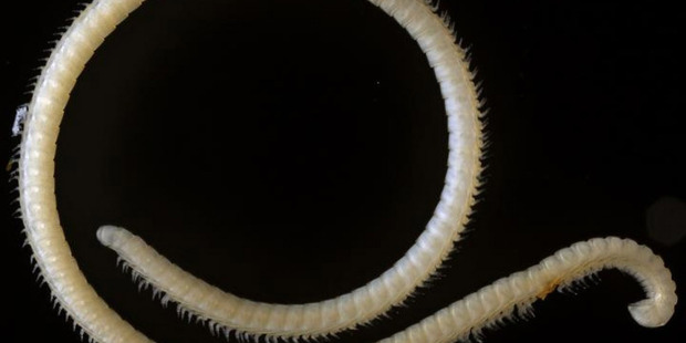 The millipede. Photo / Paul Marek,Virginia Tech
