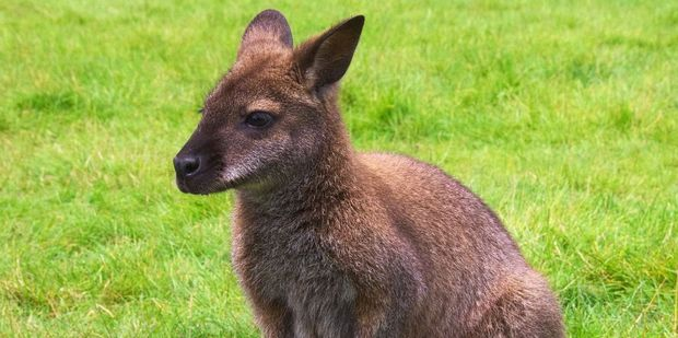 Visit the wallabies at Waimate's EnkleDooVery Korna. Photo / 123RF