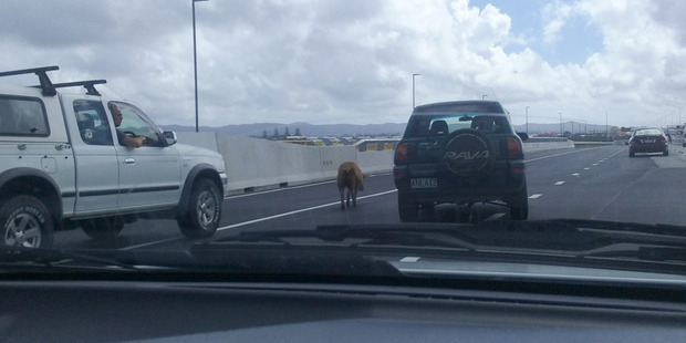 The pig causing traffic problems on the Northwestern Motorway. Photo / Supplied