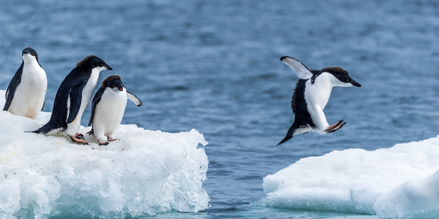 An Adelie penguin jumps between ice floes at Brown Bluff on the Antarctic Peninsula. Photo / Nick Dale/National Geographic