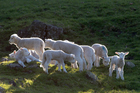 Lamb prices were mainly flat in line with expectations.