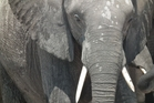 Botswana's president has opposed a cull of elephants. Photo / Mike Munro