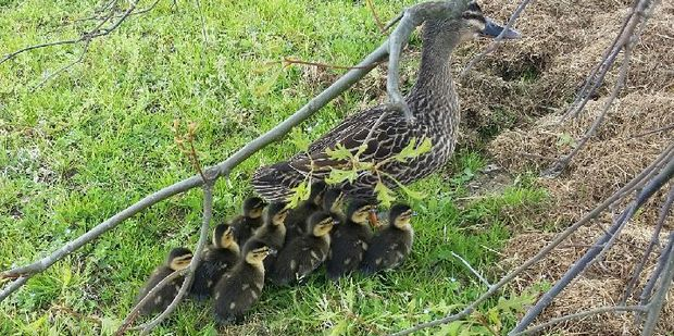 The brood of lucky ducklings who were reunited with their mum. PHOTO/SUPPLIED