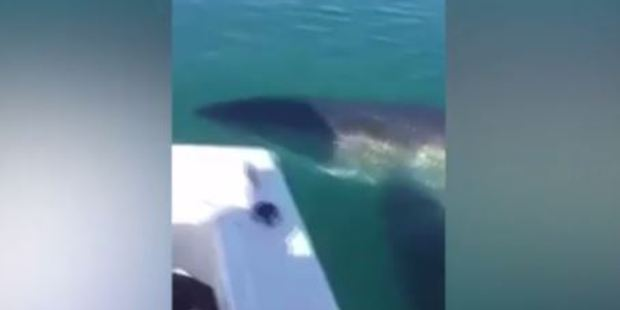 As the great white approaches the boat, its body rises to the surface and its enormous shadow can be seen. Photo / via Facebook