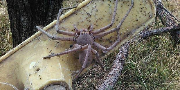 This massive huntsman spider was rescued in Australia. Photo: Barnyard Betty's Rescue / Facebook
