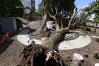 An upturned tree at the Discoveries Educare facility on Gilles Ave Epsom 08 November 2016. Two children sutained head injuries when the tree toppled over in high winds New Zeaalnd Herald photograph by Nick Reed
