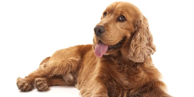 The cocker spaniel appeared to have fallen about 50m down a steep slope before falling 20m down a vertical cliff and hitting some shrubbery on a bushy ledge. Photo / 123RF