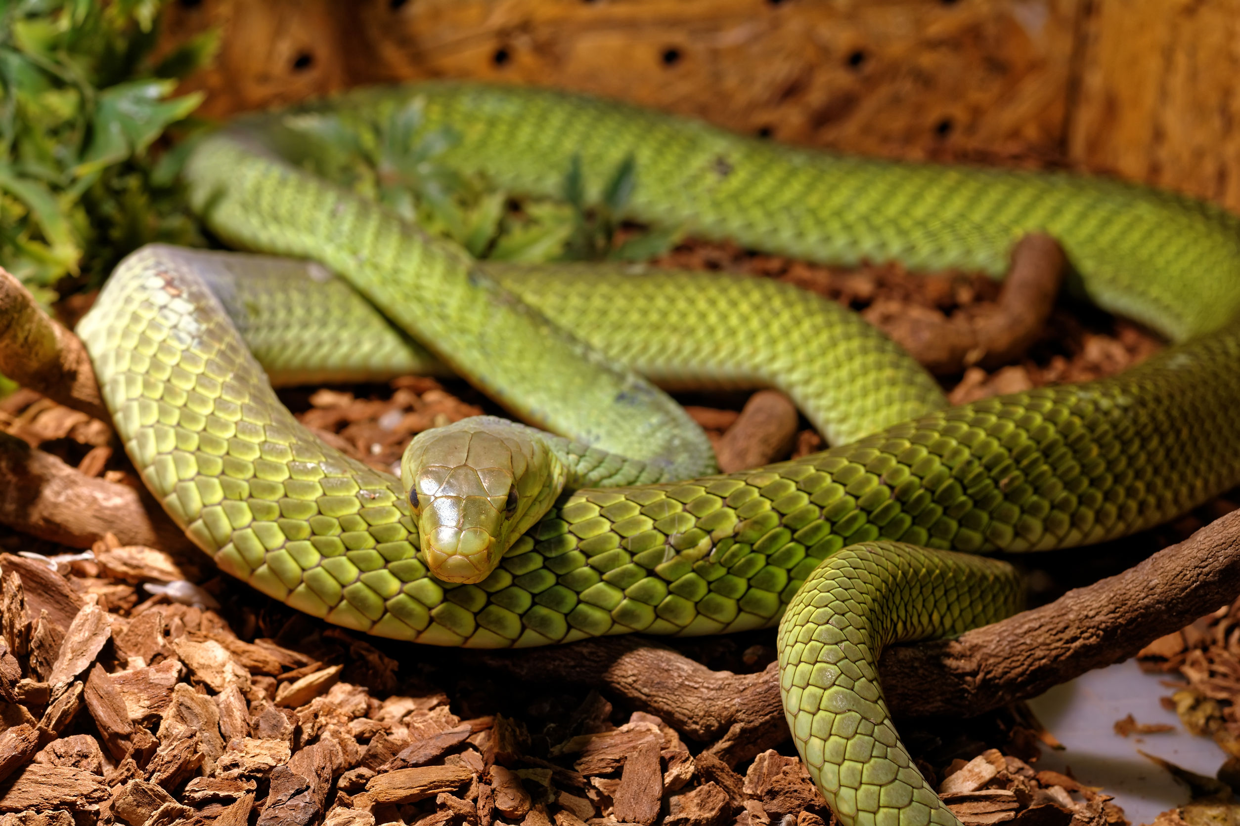 Scientists have explored why humans have evolved to be wary of snakes. Photo / 123RF