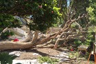 The fallen tree at the Newmarket daycare. Photo / Newstalk ZB