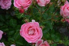 FLORIFEROUS: Eye candy is a new rose on the market.