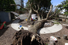 More than two dozen toddlers were in this daycare playground when a tree toppled to the ground. Photo/Nick Reed.