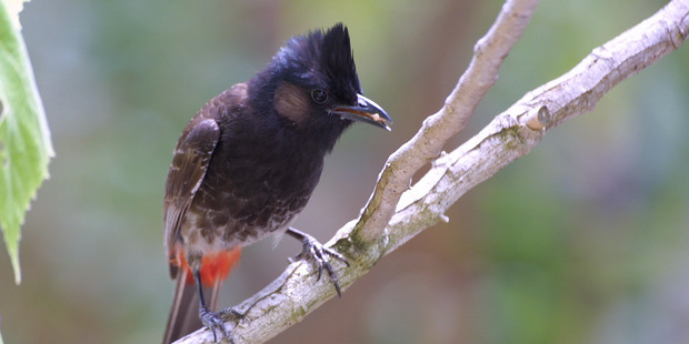 Red-vented BulBul. Photo/supplied