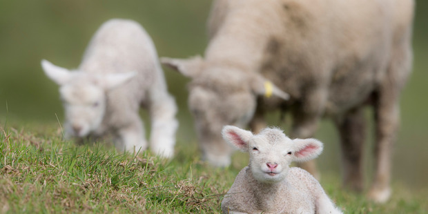 Alliance Group is the country's biggest sheep meat processor and marketer. Photo / Michael Craig.