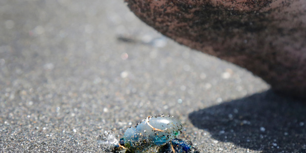Jellyfish on the beach at Castlecliff Beach yesterday.PHOTO/ BEVAN CONLEY