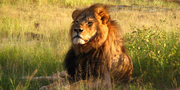 Cecil the lion at Hwange National Park in 2010. Photo / Wikimedia Commons