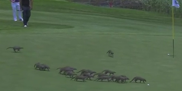 Loading Around 20 mongooses found their way onto the green at the Gary Player Country Club. Photo / Twitter / European Tour