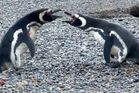 These penguins weren't playing after they got into a bloody punch-up over a woman. Photo / National Geographic