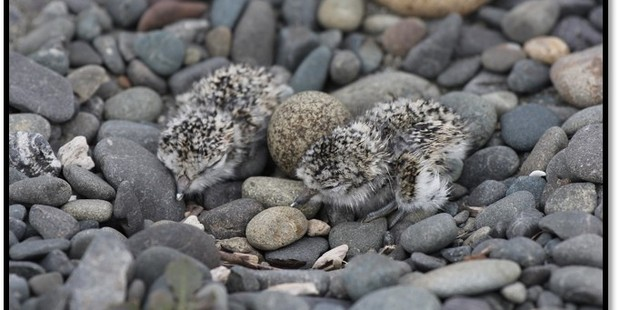 Banded dotterel chicks are at risk from cars on the beach.