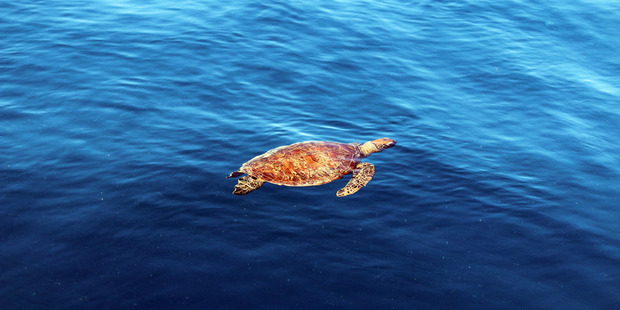 Turtles spotted from the Reefworld pontoon.