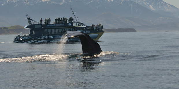 Some larger businesses, such as Whale Watch Kaikoura, will not qualify for Government's post-quake relief package. Photo / Brian Betts, Whale Watch Kaikoura