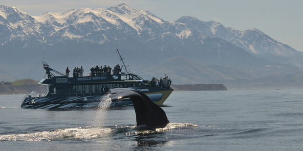 Whale Watch - which employs up to 70 people at peak times - is determined to stay afloat despite the challenges ahead. Photo /  Whale Watch Kaikoura