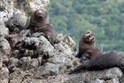 Seals at Barney's Rock, South Bay, Kaikoura. Photo / File