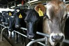 Cows can go several days without milking before welfare issues arise. Photo / File