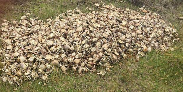 This huge pile of paddle crabs dumped in sand dunes off Ruakaka Beach has angered locals and sparked an MPI investigation. PHOTO/SUPPLIED