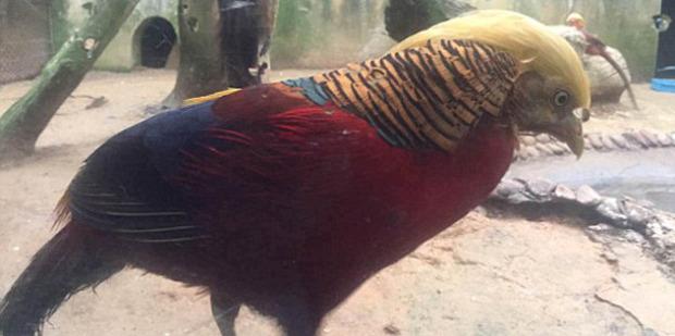 The male pheasant lives in Hangzhou Safari Park in eastern China's Hangzhou city. Photo / Hangzhou Safari Park