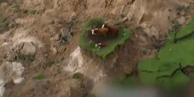 Loading The cows were spotted cowering on an island of green amid a quake-devastated landscape. Photo / Supplied